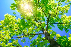 21 Oct 2004 --- Tall Green Tree --- Image by © Royalty-Free/Corbis