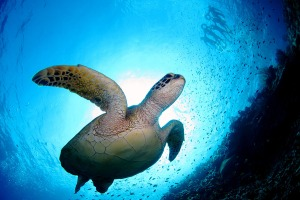 indonesia_turtle