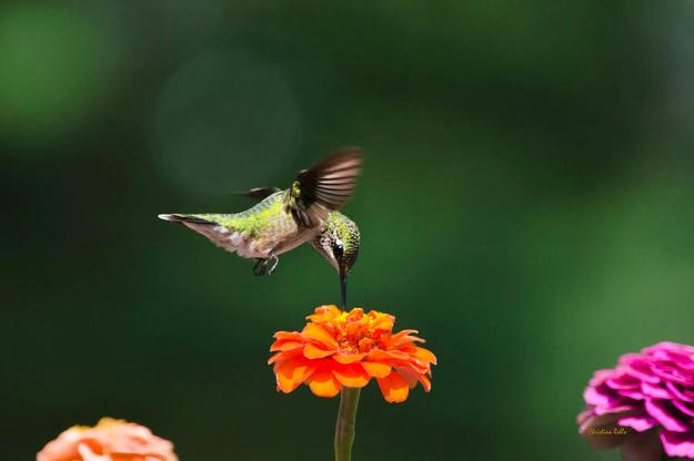 ruby-throated-hummingbird-feeding-on-orange-zinnia-flower-christina-rollo
