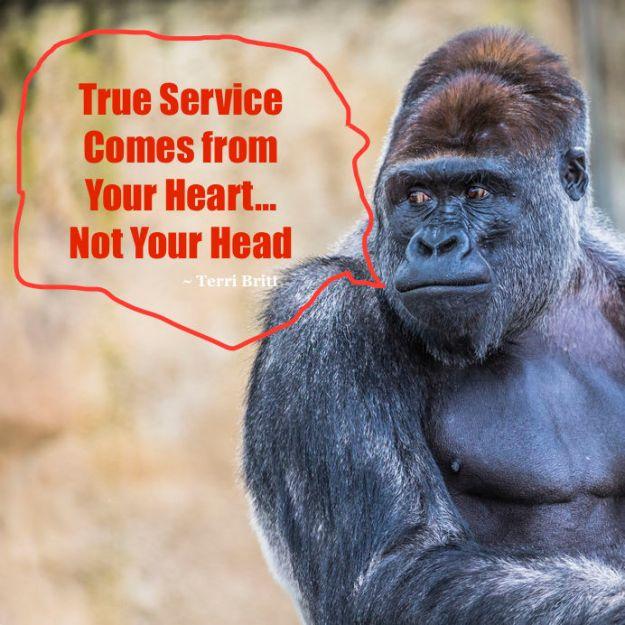 47962818 - a western lowland female gorilla standing facing forward